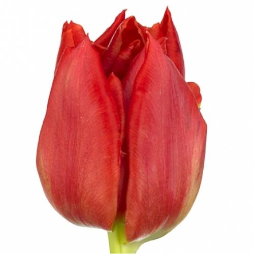 Тюльпан «ABBA»