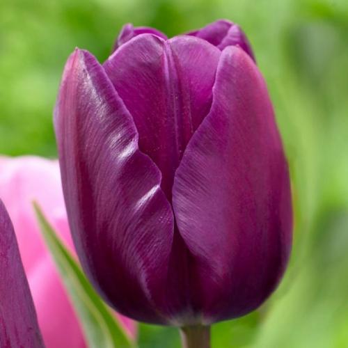 Тюльпан «Негрита»