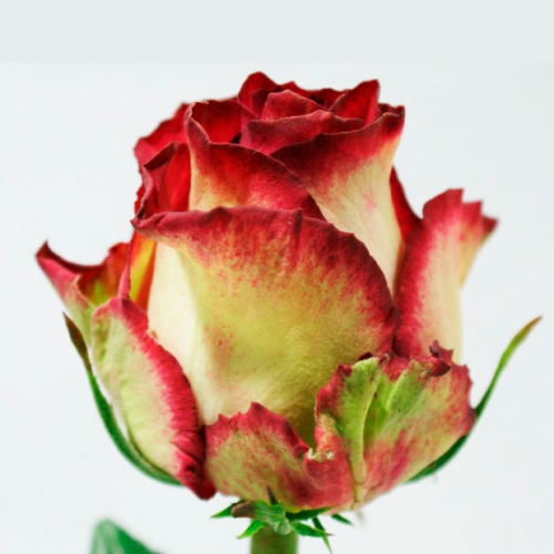 Роза  «Абсурда» (40 см)