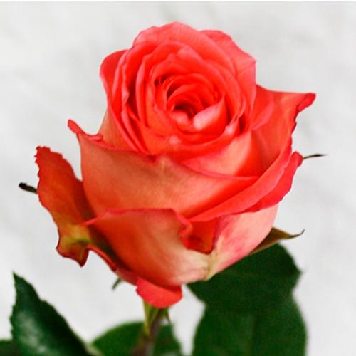Роза «Имагнация»