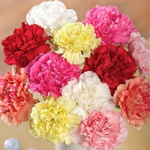 гвоздика эквадор  - Доствка цветов Раменское, Жуковский