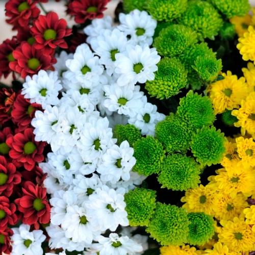хризантема сантини  - Доствка цветов Раменское, Жуковский