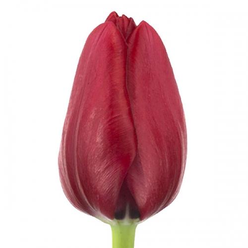 Тюльпан «Франция»