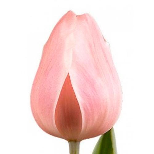 Тюльпан «Розалия»