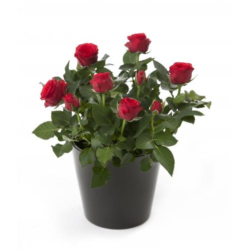 роза алгора рэд  - Доствка цветов Раменское, Жуковский