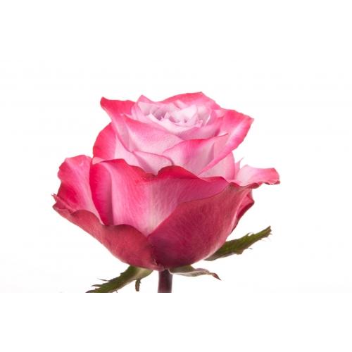 роза дип пёрпл  - Доствка цветов Раменское, Жуковский