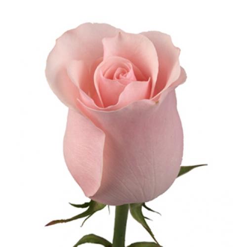 роза энгажамент  - Доствка цветов Раменское, Жуковский