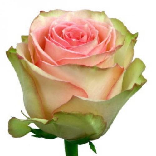 роза эсперанс  - Доствка цветов Раменское, Жуковский