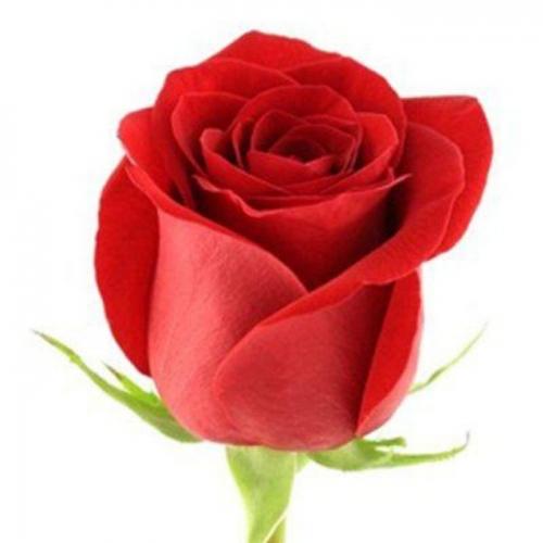 роза фридом  - Доствка цветов Раменское, Жуковский