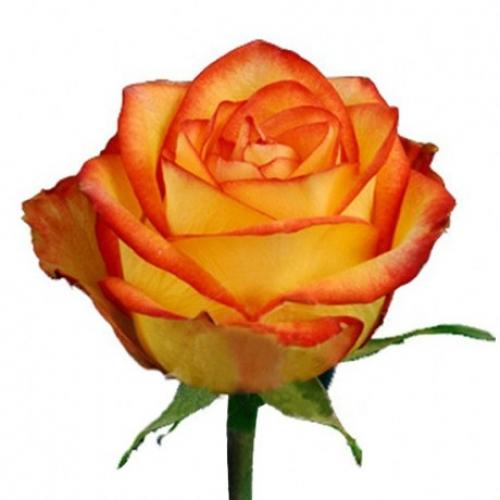 роза хай мэджик  - Доствка цветов Раменское, Жуковский