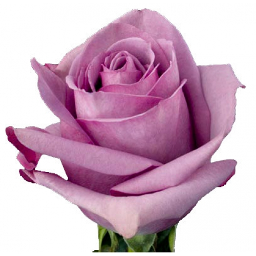 роза кул ватер  - Доствка цветов Раменское, Жуковский