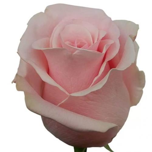 роза пинк мондиаль  - Доствка цветов Раменское, Жуковский