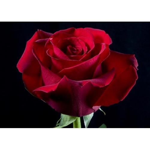 роза секси ред  - Доствка цветов Раменское, Жуковский