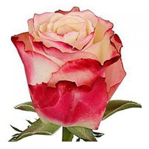 роза свитнесс  - Доствка цветов Раменское, Жуковский