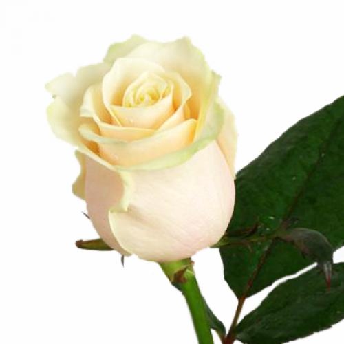 роза венделла  - Доствка цветов Раменское, Жуковский