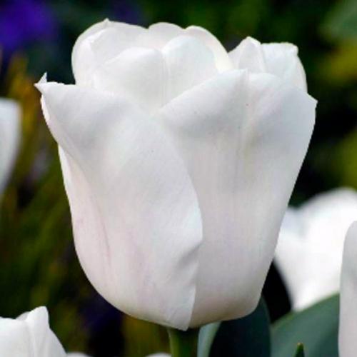 Тюльпан «Снежная леди»
