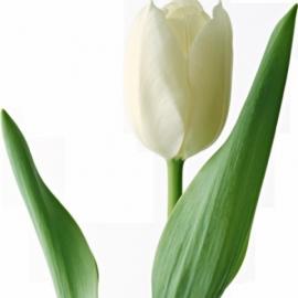 Тюльпан «Антарктика»