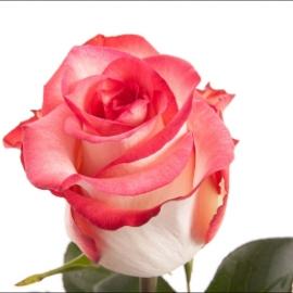 Роза «Бланш»