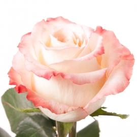 Роза Кабарэт