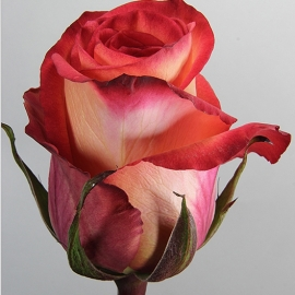 Роза «Фиджди»