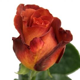 Роза «Кофе брейк»
