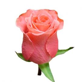 Роза  «Декора»
