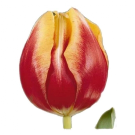 Тюльпан «Доу Джонс»