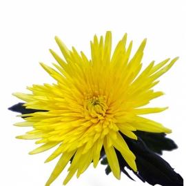 Хризантема Анастасия одноголовая желтая