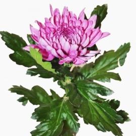 Хризантема одноголовая Резюме дарк