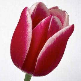 Тюльпан «Кунг Фу»