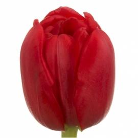 Тюльпан «Ларго»