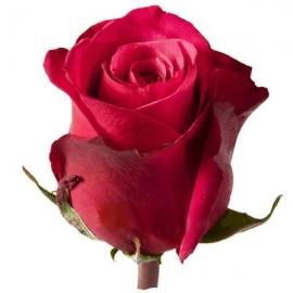 Роза Черри