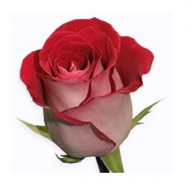 Роза Латин Леди 90 см