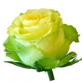 Роза Лимонада