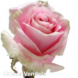 Роза Розита Венделла