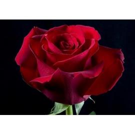 Роза Секси Ред