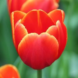 Тюльпан «Веранди»