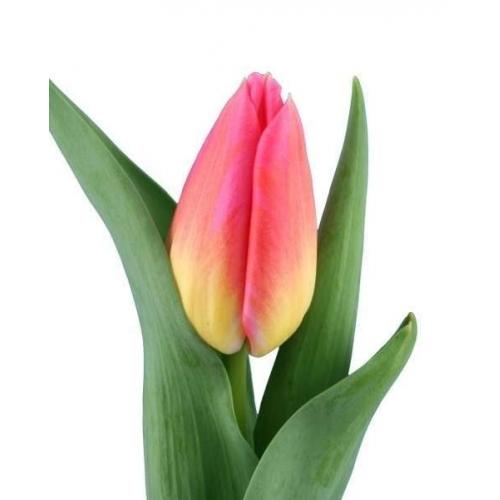 Тюльпан «Том Поус»